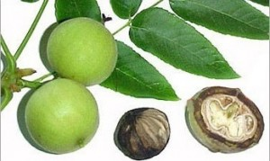 black-walnut-hull-parasite-cleanse